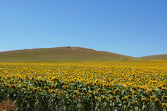 Sunflower field in southern Europe Stock Photos