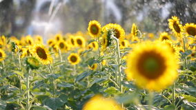 Sunflower field during sprinkling water , Pan camera stock video footage