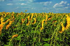 Sunflower field before a storm Stock Photography