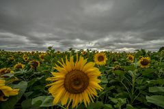 Sunflower field during the storm stock images