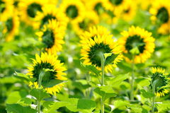 Sunflower field in summer Royalty Free Stock Image