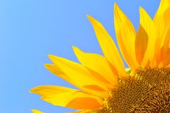 Sunflower on field in summer Royalty Free Stock Photo