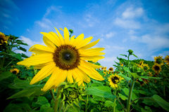 Sunflower field. In the summer Stock Photos