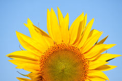 Sunflower field in summer Stock Image