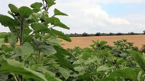 Sunflower field in summer breeze, outside shooting stock footage