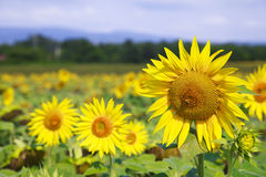 Sunflower on the field on summer day Stock Image