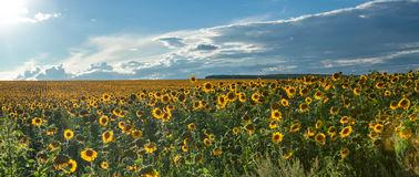 Sunflower field on a summer day Royalty Free Stock Photos