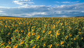 Sunflower field on a summer day Royalty Free Stock Photo