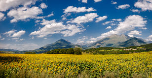 Sunflower field in Summer in Isere, Alps, France Royalty Free Stock Photos