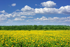 Sunflower field. summer landscape Stock Photos
