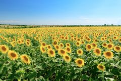 Sunflower field summer landscape royalty free stock image