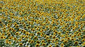 Sunflower field in summer Royalty Free Stock Images