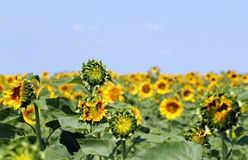 Sunflower field summer season Royalty Free Stock Photos