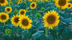 Sunflower field in the summer in Valensole. stock video footage