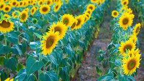 Sunflower field in the summer in Valensole. stock video