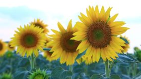 Sunflower field in the summer in Valensole. stock footage
