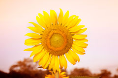 Sunflower field. Sun flower field on a sunny day stock photo