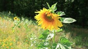 Sunflower stock footage