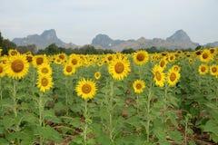 Sunflower field,sunflower field background, sunset paintings, sunflower landscape royalty free stock photos