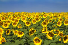 Sunflower Field. A field of sunflowers Stock Photo