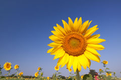 Sunflower field. Sunflowers against the blue sky Royalty Free Stock Photos