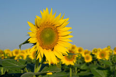 Sunflower. The field of sunflowers on a background of blue sky. Time of sunrise Stock Image