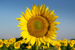 Sunflower. The field of sunflowers on a background of blue sky. Time of sunrise Stock Photo