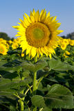 Sunflower. The field of sunflowers on a background of blue sky. Time of sunrise Royalty Free Stock Photo