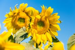 Sunflower. Field with sunflowers on a blue sky background.  stock image