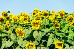 Sunflower. Field with sunflowers on a blue sky background.  royalty free stock images