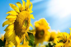 Sunflower. Field with sunflowers on a blue sky background.  stock photo