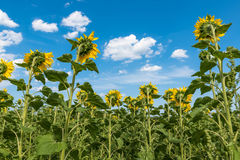 Sunflower in field Royalty Free Stock Photography