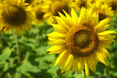 Sunflower in a field of sunflowers. Royalty Free Stock Photography
