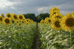 The sunflower field royalty free stock photos