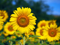 Sunflower. Field s nature sun background green farm summer yellow flower plant floral agriculture landscape beauty closeup natural sunny growth flora blossom stock image