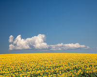 Sunflower Field. A field of sunflowers, in the south of France stock images