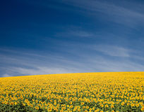 Sunflower Field. A field of sunflowers, in the south of France royalty free stock images