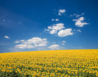 Sunflower Field. A field of sunflowers, in the south of France royalty free stock photos
