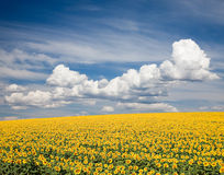 Sunflower Field. A field of sunflowers, in the south of France stock photos