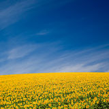 Sunflower Field. A field of sunflowers, in the south of France stock image