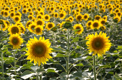 Sunflower field. Sunflowers on a sunny day Stock Image
