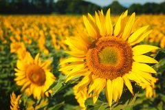 Sunflower in field Royalty Free Stock Photos