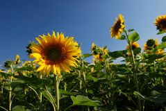 The Mayan Sunflower Royalty Free Stock Images