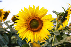 Sunflower in the field Stock Photography