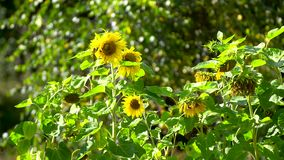 Sunflower field in sunny day. Sunflower field in beautiful sunny day stock video