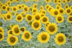 Sunflower field. Field of sunflower in a sunny day Stock Photography