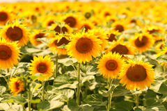 Sunflower field sunny day yellow Royalty Free Stock Photo