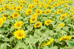 The sunflower field Stock Image