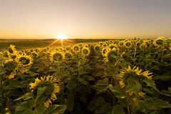 Sunflower field at sunrise Royalty Free Stock Photo