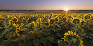 Sunflower field at sunrise Royalty Free Stock Images